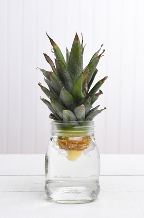 Rooting a pineapple top in a jar of water for transplanting.