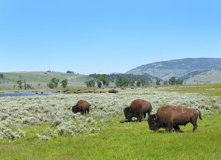 A herd of Bison grazing in the Lamar Valley in Yellowstone National Park, Wyoming.
