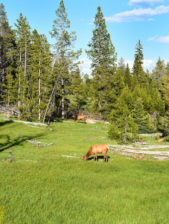 wapiti: Elk grazing in a meadow in Yellowstone National Park.