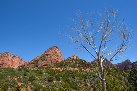 Dead tree in Kolob Canyons in Zion National Park, in the northwest corner of the park, narrow parallel box canyons are cut into the western edge of the Colorado Plateau. Stock Photo
