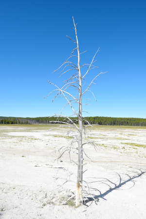 A single dead white tree against a stark cloudless blue sky, in the Fountain Paint Pot area of Yellowstone National Park. Stock Photo