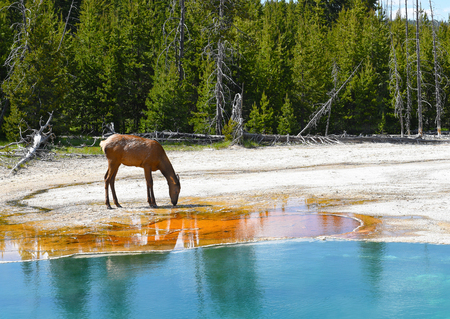 wapiti: A female (cow) elk drinking water at a hot spring in Yellowstone National Park.