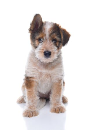Closeup of a cute adorable Australian Shepherd Mix Puppy on a white surface.