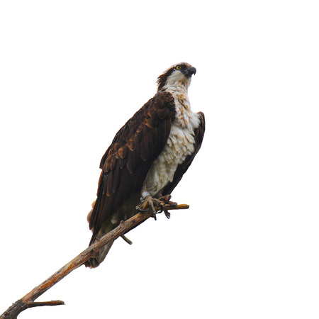 Closeup of an Osprey on a branch isolated on white. Stock Photo