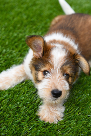 Dog: Australian Shepherd Puppy laying on artificial grass surface. Stock Photo