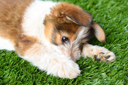 Dog: Australian Shepherd Puppy laying on artificial grass surface. Stockfoto