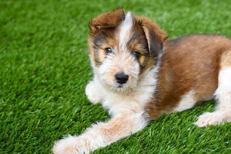Dog: Australian Shepherd Puppy laying on artificial grass surface. Stock Photo