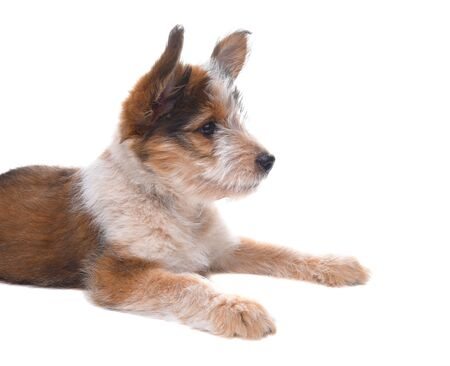 Dog: An Australian Shepherd Puppy laying on white surface, side view. Stock Photo