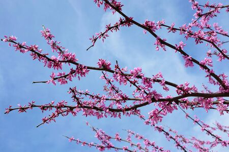 Pink Tree Flowers against a blue cloudy sky, horizontal format.