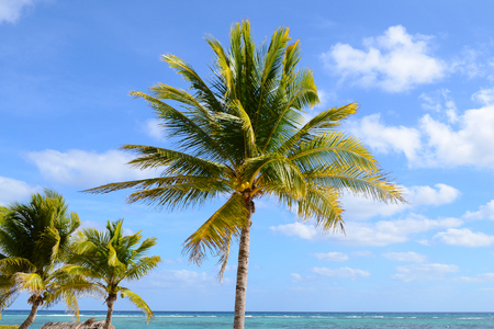 Coconut Palm Trees sway in the breeze on a tropical beach, on a sunny day wiht a blue cloudy sky.  写真素材