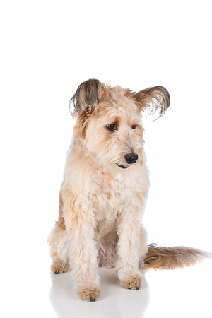 A Cute Mixed breed shaggy dog on white, sitting and looking down.
