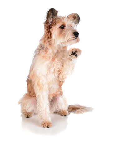 Cute Mixed breed shaggy dog on white, sitting with one paw raised.