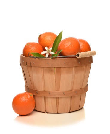 A basket full of fresh picked Minneola Tangelos, a cross between a Duncan grapefruit and a Dancy mandarin. 版權商用圖片