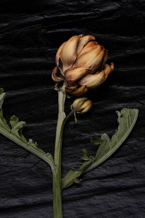 Still life of a dried Artichoke globe that didn't ripen on the vine, on a black slate surface.