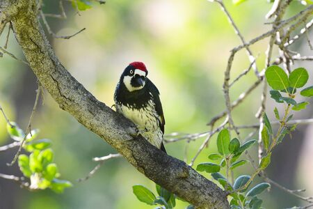 An Acorn Woodpecker, Melanerpes formicivorus, perched on the branch of a tree, facing camera.