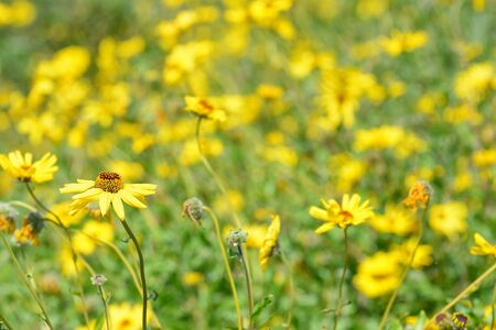 A single in focus yellow daisy like flower against a field of out of focus Flowers