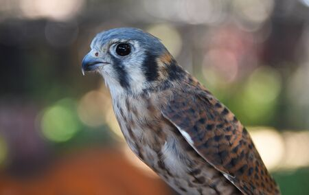 Closeup of an female American Kestrel, Falco sparverius, the smallest falcon in North America. Stock fotó