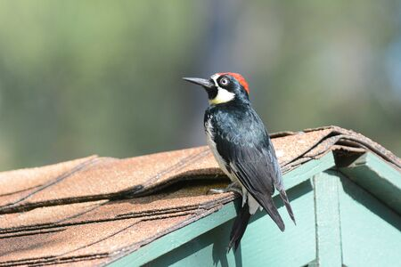 An Acorn Woodpecker, Melanerpes formicivorus,  on the roof of a shed.