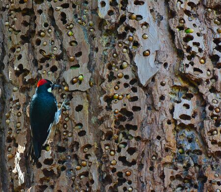 An Acorn Woodpecker, Melanerpes formicivorus, on a tree trunk with holes filled with acorns. Archivio Fotografico - 135980702