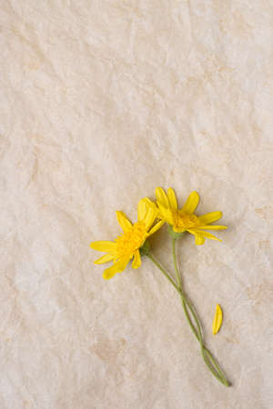Two Yellow Daisy like flowers with crossed stems on aged parchment paper with copy space.