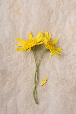 Flat lay of two yellow daisy flowers on aged parchment paper. Verticla with copy space. Stockfoto - 161989791
