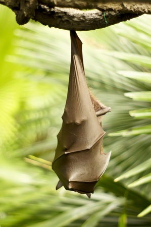 A Bat hanging upside down Stock Photo - 9258019