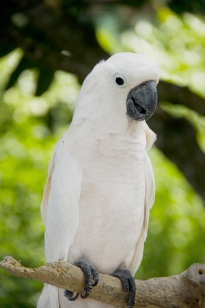 preening: Yellow crested cockatoo on tree branch Stock Photo