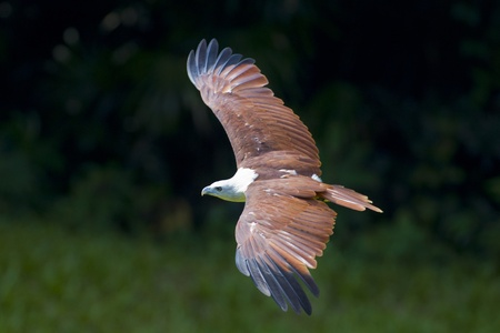aguila real: Haliaeetus volando en busca de su presa