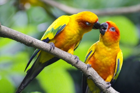 sun conure parrot kissing eachother Stock Photo