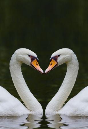 cisnes: dos cisnes que se enfrentan entre sí formando una forma de corazón