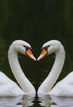 two swans facing each other forming a heart shape