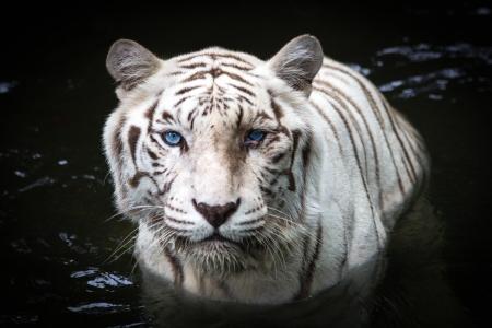 tigre blanc: Close up de tigre blanc sur l'eau Banque d'images