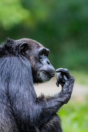 deep in thought: Chimpanzee in deep thought Stock Photo