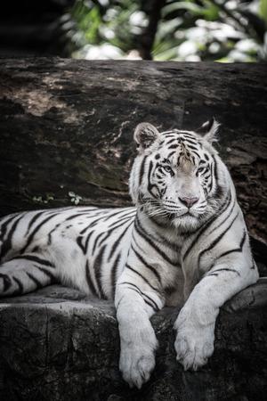 majestic: White Tiger