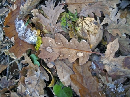 Frozen oak leaves on the ground photo