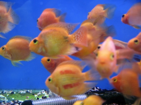 Tropical exotic fishes