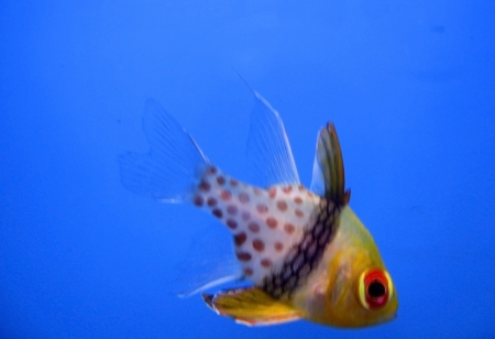 exotic fish: Peces ex�ticos tropicales