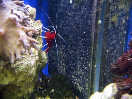 white moustache: Red royal shrimp with a white moustache