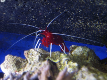 Red royal shrimp with a white moustache Stock Photo - 10743627