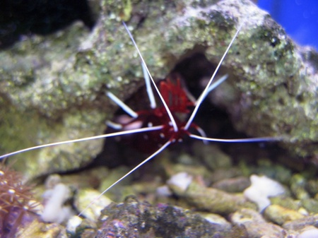Red royal shrimp with a white moustache Stock Photo - 10743625