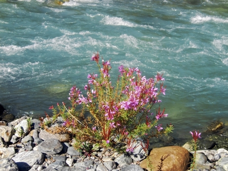 Pink flower on the bank of the river photo