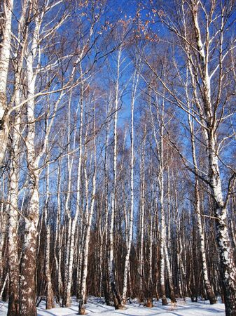 White birches and clear blue winter sky photo