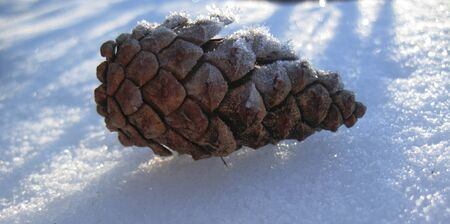 Pine cone laying on the white snow photo