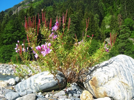 Pink flowers and mountain landscape. Caucasus summer Stock Photo