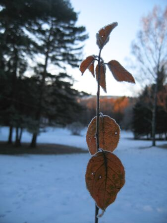 Red frozen leaves and cold winter morning Stock Photo - 11595613