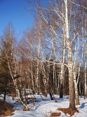 White birches and clear blue winter sky Stock Photo - 11595556