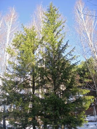 White birches, clear blue winter sky and pine trees Stock Photo - 11595555
