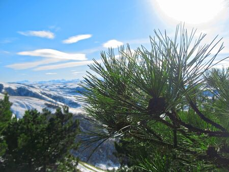 Green pins of the pine tree. Winter photo