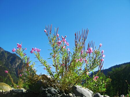 Pink flowers and mountain landscape. Caucasus summer photo