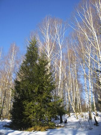 White birches, clear blue winter sky and pine trees photo